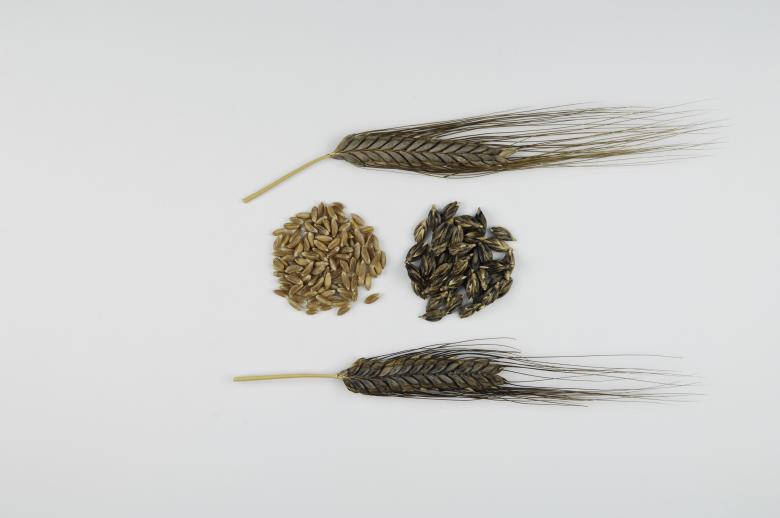 Samples of emmer wheat – one of the oldest cereals grown by humans – are stored in the gene bank © Agroscope