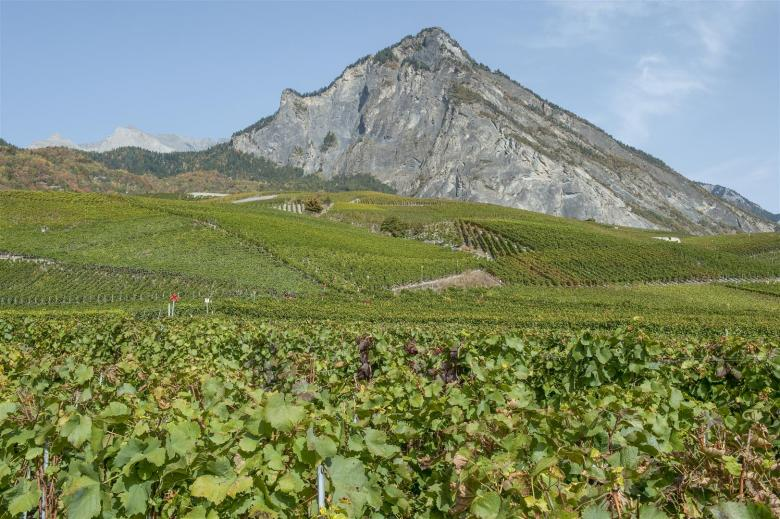 Agroscope vineyards in Leytron in the Valais