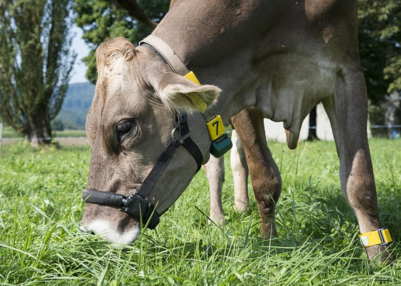 Cow wearing a halter with a pedometer attached to it. ©Agroscope, Gabriela Brändle