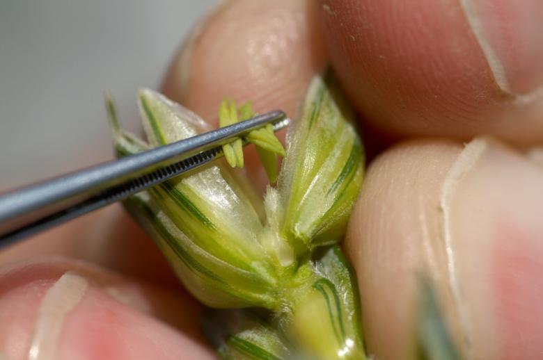 The anthers of one wheat variety are delicately removed to allow pollination with a second variety © Carole Parodi Agroscope