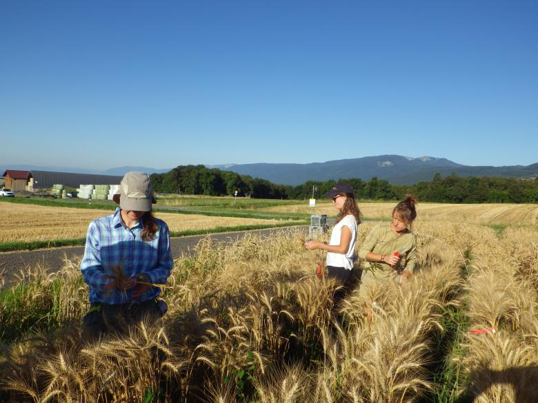 Agroscope researchers test the disease resistance of the different wheat varieties © Carole Parodi Agroscope