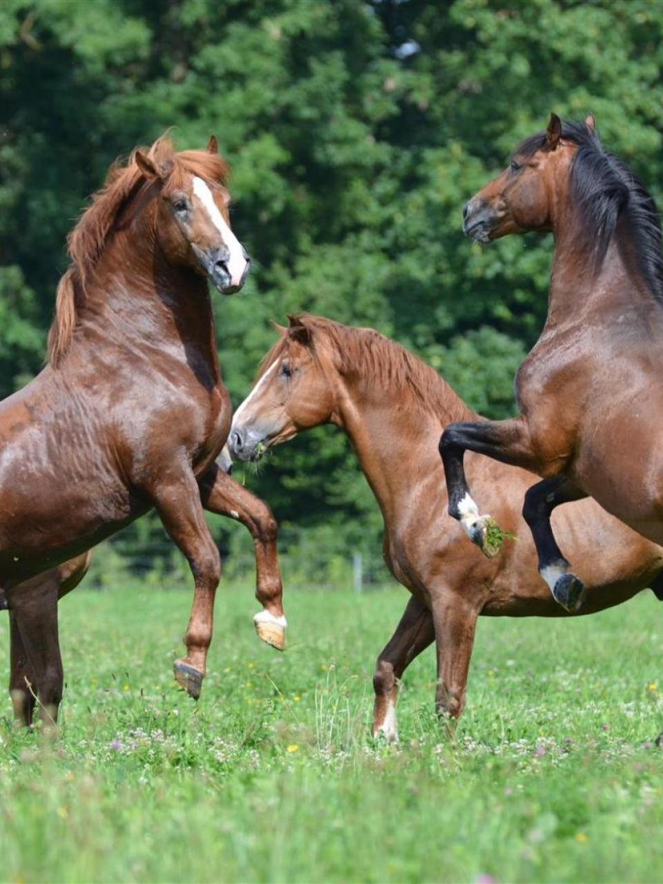 Stallions held in group on pasture