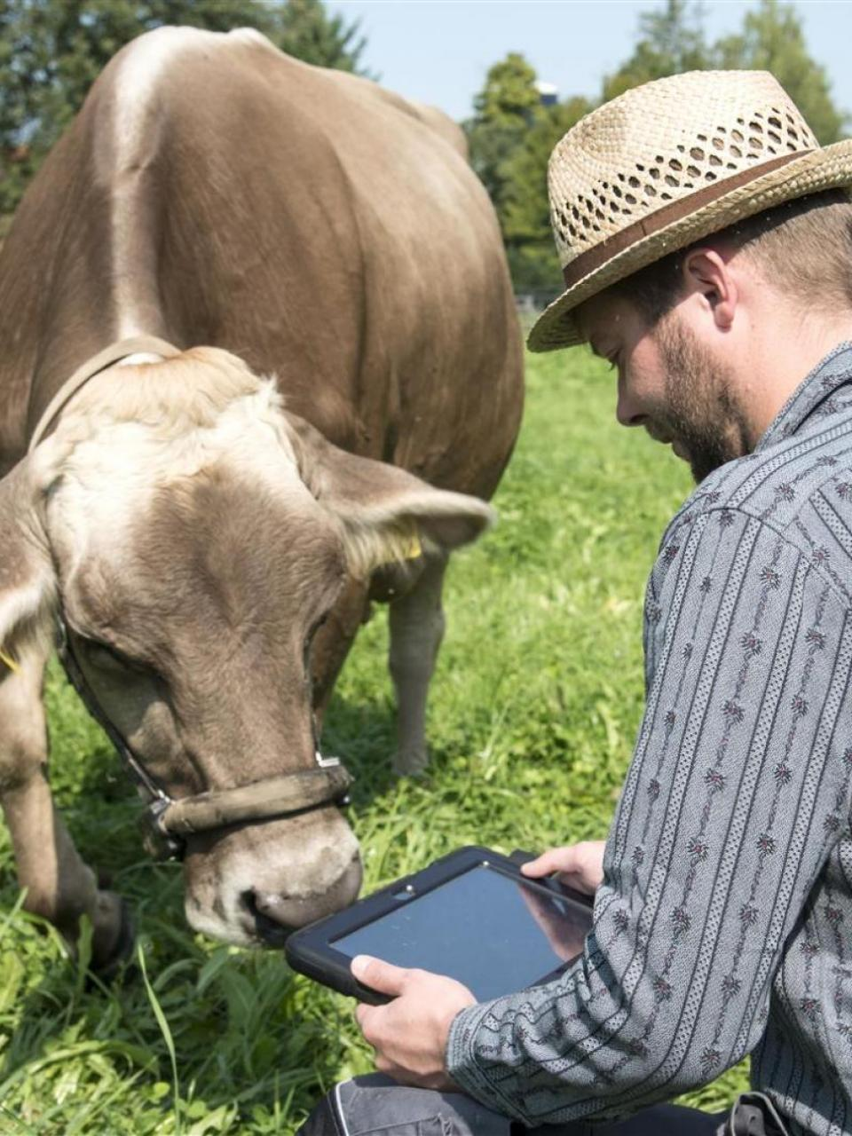 Data provided by the pedometer attached to the halter enables the behaviour of cows to be monitored on a tablet. ©Agroscope, Gabriela Brändle