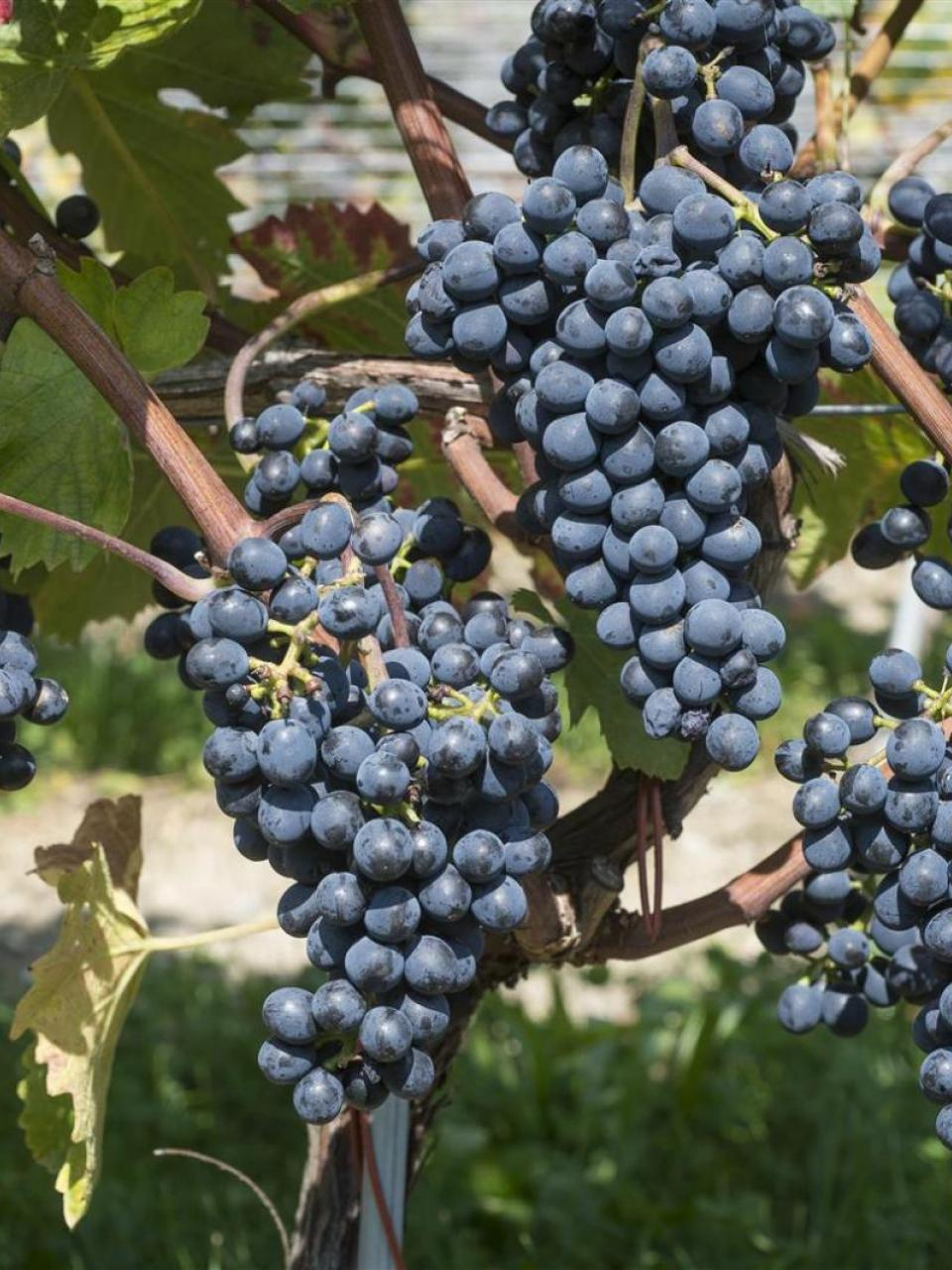 Red Divico grapes
